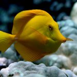 Yellow Tang with Coral