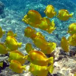 Snorkeling Yellow Tangs