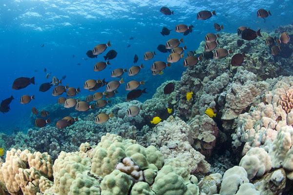 Kealakekua Bay Snorkeling Reef